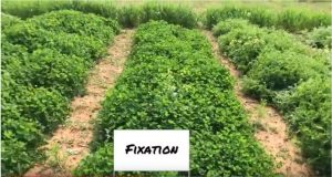 FIXatioN in Clemson Cover Crop Trials 2018