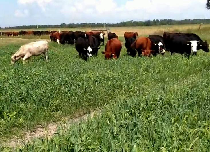 Moving cattle onto a Cover Crop Field