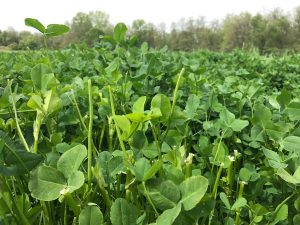 Purdue University Annual Clover Forage Production Trial 2017