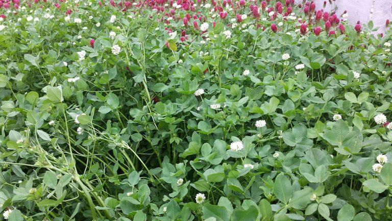 CISCO Seeds Forage Field Day