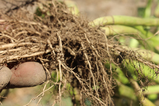 cover crop fixation_roots