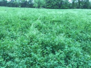 Selecting the Best Clover Food Plot Seed