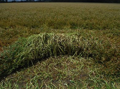 cover crop swathing balansa